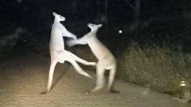 Two kangaroos duke it out on the road in Central Queensland.