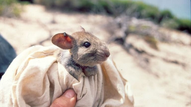 A greater stick nest rat, reintroduced to a large enclosed area of South Australia.