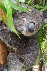 A koala that's just had spray to keep cool during a heatwave at Tidbinbilla Nature Reserve near Canberra.