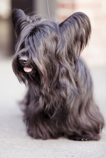"A Skye terrier: They're ""big boofheads,"" says breeder Julie Cartledge."