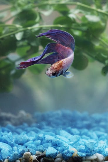 How to keep your Siamese fighting fish happy.