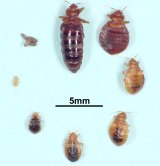 Life cycle of the bed bug.