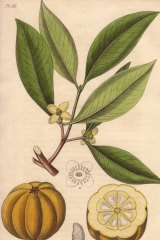 Garcinia Cambogia is the former scientific name of a native Southeast Asian plant, as shown in this handcoloured botanical illustration from John Stephenson and James Morss Churchill's Medical Botany.