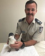 The juvenile penguin with Tyson Hohlein from RSPCA NSW.