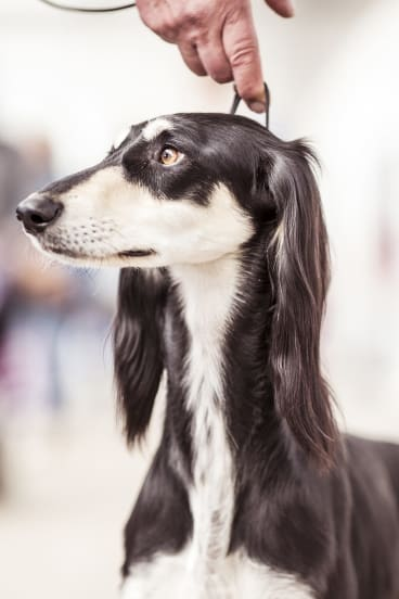 A saluki at the Royal Melbourne: there are cross-currents of  resentment and spite, schadenfreude and jealousy.