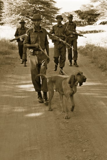 Bloodhounds are being trained at Lewa Wildlife Conservancy to track down poachers.