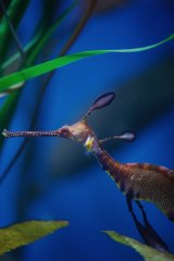 Weedy sea dragons are technically fish, are related to sea horses and are under threat.