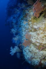 """Mesophotic coral, such as this in Pohnpei, Micronesia, might act as """"lifeboats"""" for nearby damaged reefs - but that could come with changes to species populations."""