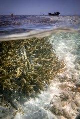 Coral bleaching on the Great Barrier Reef, Heron Island.
