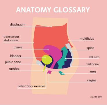Pelvic floor anatomy 101.