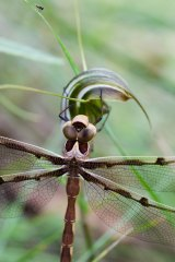 A dragon fly checks out a long-tongue summer greenhood orchid (Diplodium aestivum) in Namadgi National Park.
