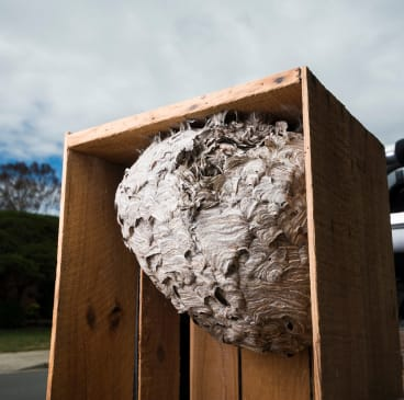 An intact European wasp nest that Jim Beriesheff removed previously.