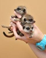 The litter is housed in Taronga Zoo's African-themed meerkat exhibit.