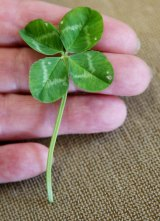 Four-leaf clovers are about one in 10,000.