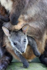 Keepers aren't yet sure of the joey's gender.