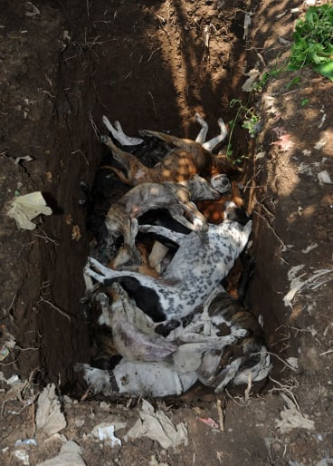 Dog corpses being thrown into a pit.