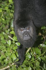 You know what they say about deep voices: a black howler monkey.
