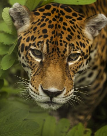 Queensland researchers have contributed virtual reality technology in a big to save these big Peruvian cats.