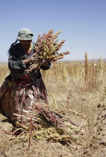 Diet staple: A woman harvests quinoa plants on a field in Tarmaya, 120km south of La Paz.