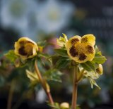 Peter Leigh says the growth patterns of hellebores ''are the complete opposite of most plants''.