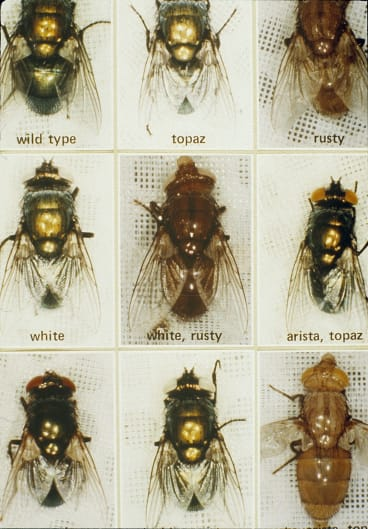 A tray of blowflies. These flies were bred with mutations in the laboratory to study control methods for the sheep blowfly.
