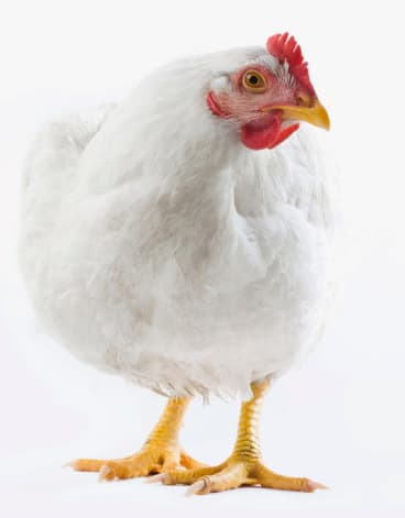 Some chickens were even observed to display Machiavellian tendencies.