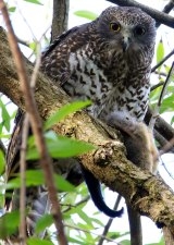 A male powerful owl at roost before capture.