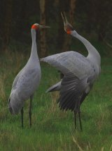 Inka Veltheim says the brolga population is potentially in decline.