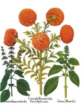 Marigold by Basilius Besler. The marigold is mentioned in Winter's Tale, Cymbaline and Pericles.