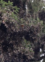 Monarch butterflies hibernate, hanging in clumps from tree branches, at Piedra Herrada, Mexico state, Mexico.
