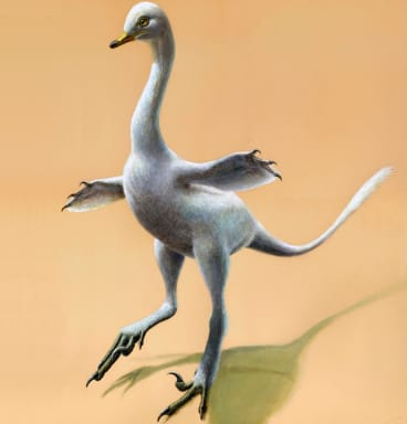 Halszkaraptor escuilliei, about 45 centimetres tall, had a bill like a duck, a swan-like neck and killer claws.