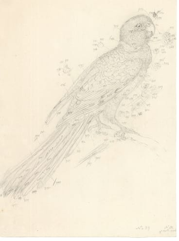 Barnardius zonarious (Port Lincoln ringneck, Psittaculidae), field drawing by Ferdinand Bauer.
