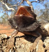 The Australian bearded dragon.