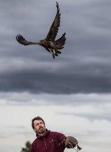 Martin Scuffins releases a black falcon.