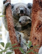 Queensland could look to lock up more land as State Parks to save SEQ koala populations