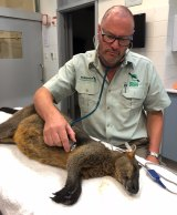 Dr Larry Vogelnest assessing the sedated wallaby after it was captured by police.
