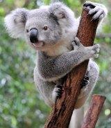 Brisbane City Council is using koala detection dogs to find koala populations in Brisbane.
