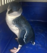 The penguin was taken to Taronga Zoo and found to be healthy but slightly underweight.