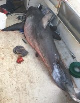 The shark was estimated to be  2.7 metres long.