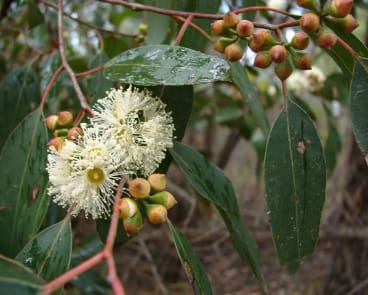 Eucalyptus brookeriana by Alan Gray, Honorary Botanist, Tasmanian Herbarium, who described the new species in 1979 and honored Mr Ian Brooker naming it after him.
