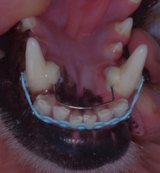 There are suspicions of pooches getting braces to straighten teeth.