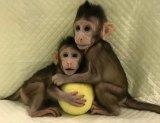 Genetically identical: Cloned monkeys Zhong Zhong and Hua Hua.