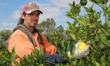 Gun citrus picker Ricky Barry in action at Colignan, Victoria.