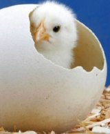 Chick emerges from an egg.