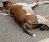 Culled stray dog on the street in Karachi.
