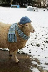 Marley the sheep felt right at home in the snow.