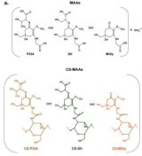 The chemical structures of the CS-MAA conjugates may revolutionise the skincare industry.