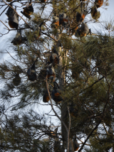 A colony of flying foxes near Batemans Bay.