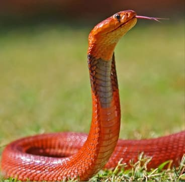 The red colouring of the Sudan cobra warns of its potent venom.