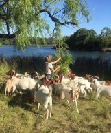 Herds for Hire brought goats to Lake Burley Griffin to rid the area of weeds like blackberry.